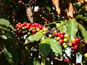 coffee-berries